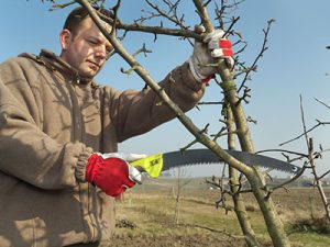 Image of a man pruning apple tree branches