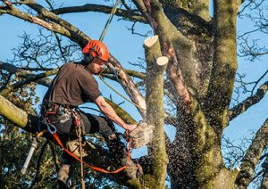A professional cutting high tree branches