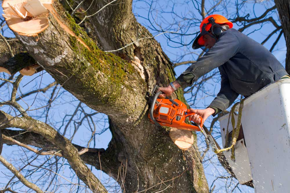 A professional arborist trimming a tree